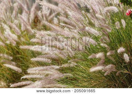 Glowing In The Sun Eared Grass