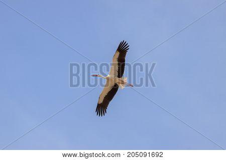Single Stork Is Flying In Blue Sly