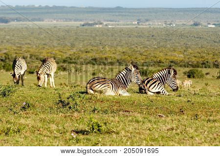 Group Of Zebras Lying, While The Other Is Standing And Eating Grass