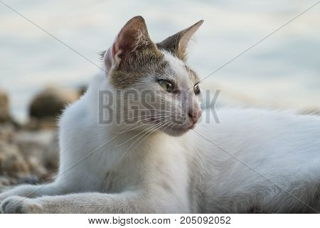 White cat with brown ears lies on a pebble by the lake and looks away