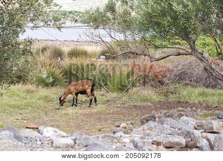 Goat grazing near green olive trees in Crete, Greece