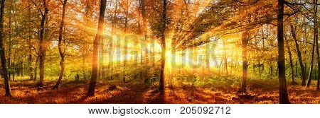 Autumn forest panoramic landscape shot with vivid gold sunrays falling through the trees