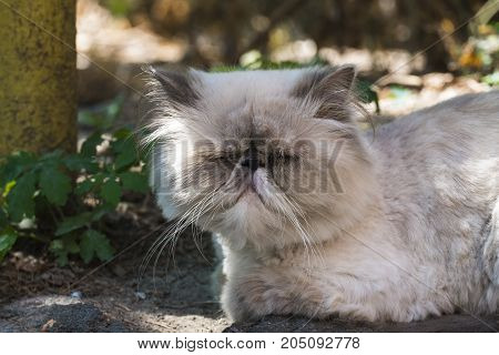 Blinded persian cat resembling Tyrion Lannister ( Felis catus)