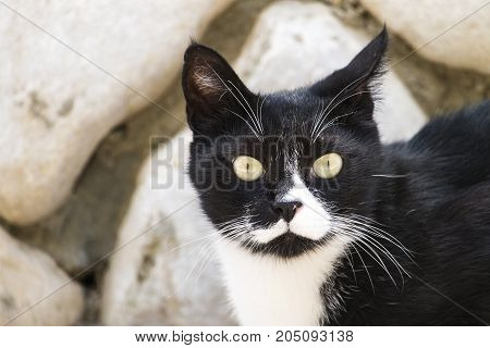 Noble black and white cat listening ear