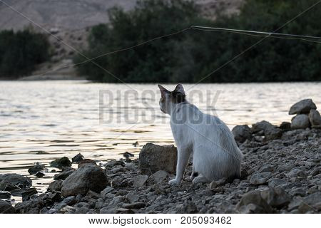 White cat with brown ears on evening fishing closely follows the float in anticipation of delicious fish