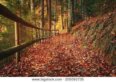 Footpath covered with fallen autumn leaves is lined with trees displaying colorful fall foliage at Carpathian Mountains.
