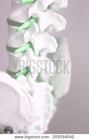 Human Spine Column Vertebra Model