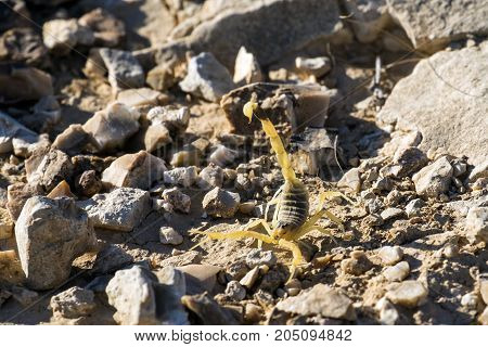 Israeli yellow scorpion known as the deathstalker, attacks (Leiurus quinquestriatus)