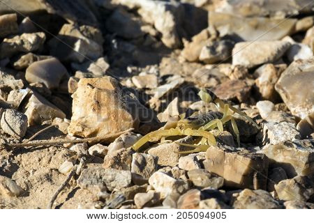 Israeli yellow scorpion known as the deathstalker, sits on stones (Leiurus quinquestriatus)