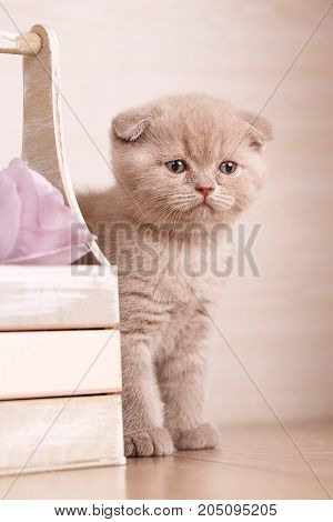 Cat, pet, and cute concept - Thoroughbred cats. Scottish Fold Cat near box with flowers