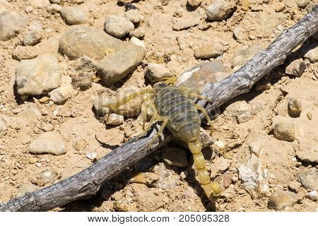 Scorpion deathstalker from the Negev overcomes the obstacle (Leiurus quinquestriatus)