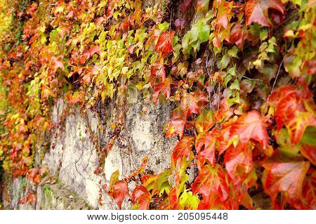 Climbing plant with red leaves in autumn on the old stone wall