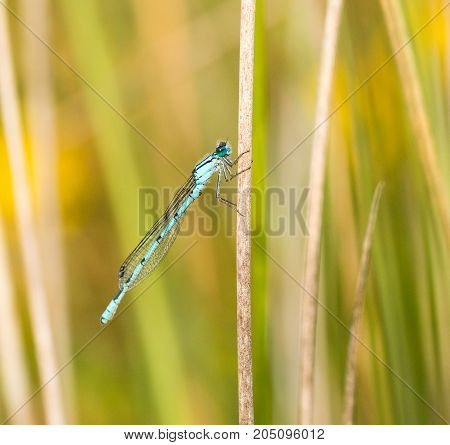Common Blue Damselfly holding onto a reed at the edge of a pond in a nature reserve in Cornwall UK
