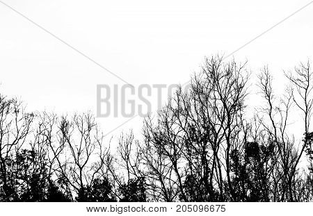 Silhouette dead tree isolated on white background for scary or death .