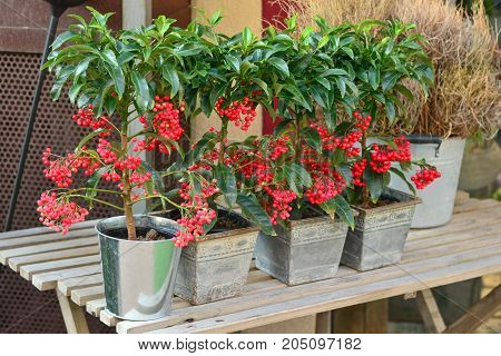 Red berry tree PYARACANTHA PLANT for planting in the garden