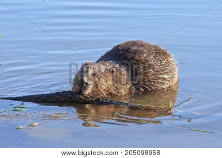 A Beaver Sits In Water And Nibbles Log