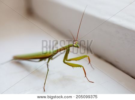 green insect mantis closeup. Beautiful animals background.