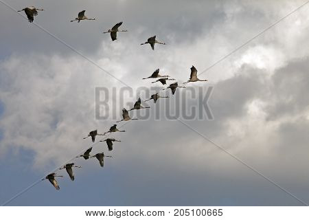 A Flock Of Beautiful Storks In The Sky