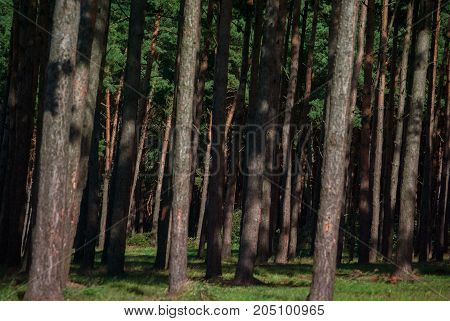 dense red pine forest closeup horizontal photo