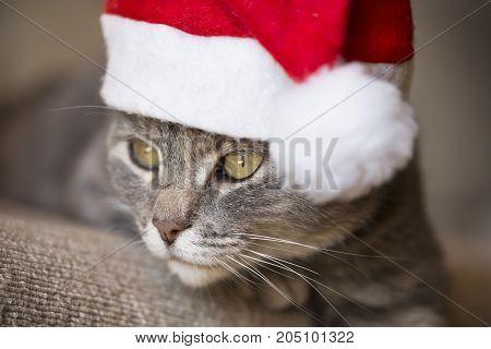 Beautiful tabby cat wearing Santa's hat lying on the sofa