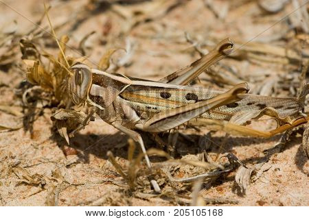 Grasshopper - description of the insect. Most species are distinguished by an elongated body, laterally compressed head and two oval facecute eyes grasshoppers