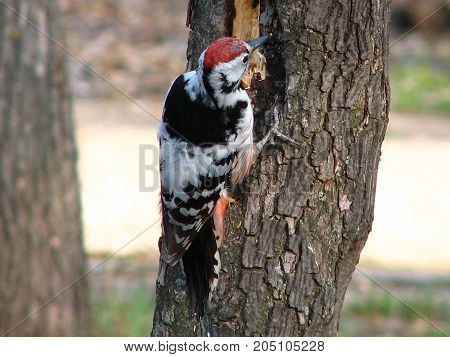 Very beautiful woodpecker in the tree is quite large and one of the most famous members of the family