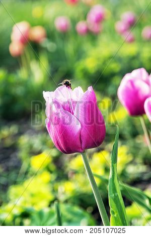 Beautiful pink tulips with bumblebee in the garden. Beauty in nature. Springtime natural scene.