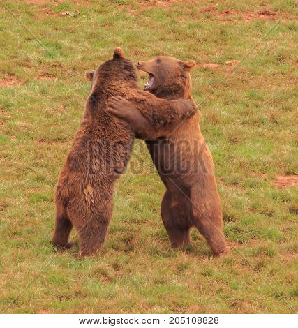 The children's play of two young grizzlies
