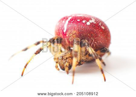 Large Red Spider With White Color Speck On Body Isolated On A White Background