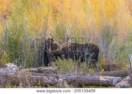 a bull and cow Shiras moose in the fall rut in Wyoming
