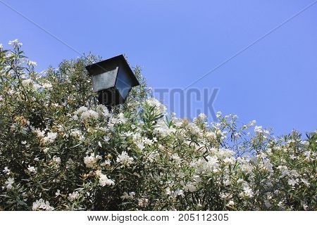 Beautiful white flowered bush with street lantern and empty blue sky background for copy space. Simple nature outdoor scene for template and text. Garden, park, outside activities on summer concept.