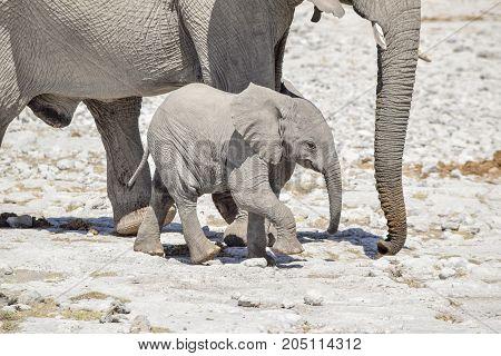 sunny arid savannah scenery including a african bush elephants cub near his mother seen in Namibia