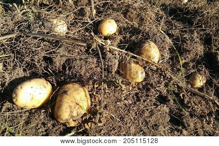 Harvesting potatoes on the ground. Fresh organic potatoes just came out.