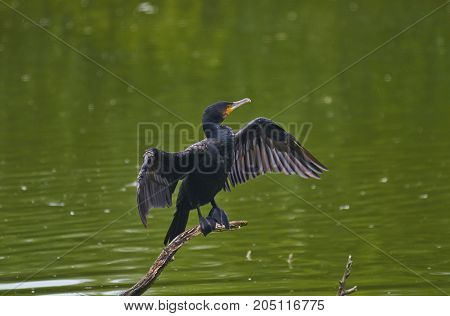 The great cormorant (Phalacrocorax carbo) dries its wings after fishing.