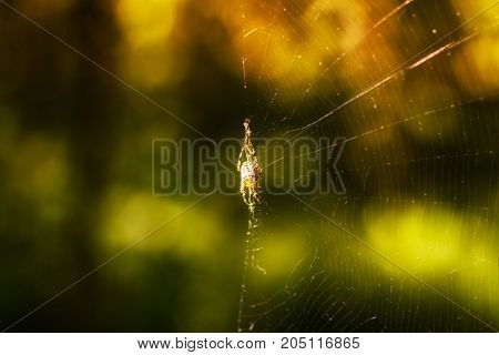 brightly lit by the sun a spider on the edge of a web against the background of early autumn in the forest