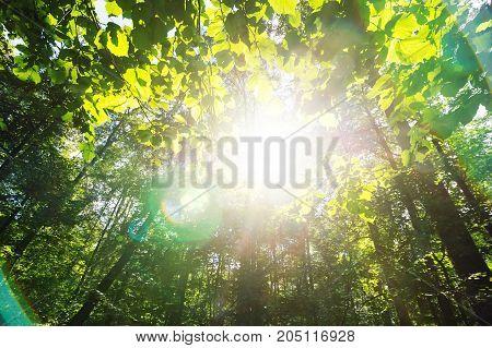Green forest. Sun light through treetops. Summer.