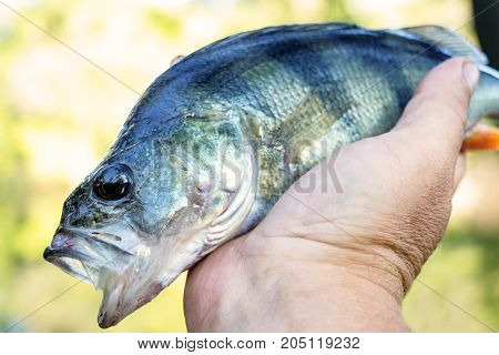 River perch with an open mouth in the hands of the angler