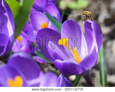 Honey bee on a Beautiful first spring flowers crocuses bloom under bright sunlight.