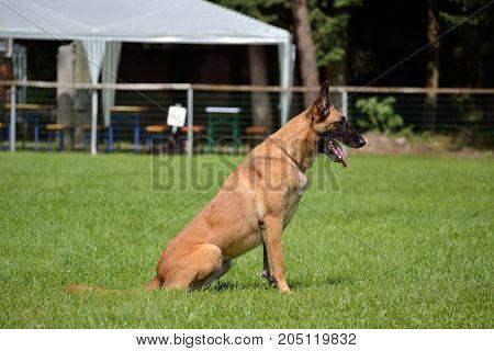 Belgian Shepherd Waiting For Command