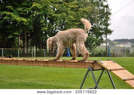 Poodle Walks Over Ladder
