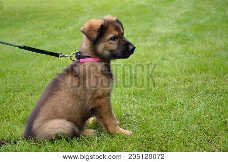 Shepherd Puppy Sits In The Meadow