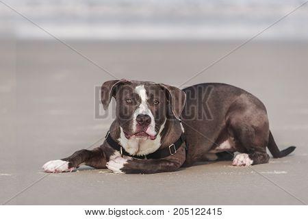 American Pitbull terrier resting on the beach