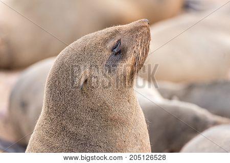 Close-up of a Cape Fur Seal Arctocephalus pusillus at Cape Cross on the Skeleton Coast of Namibia