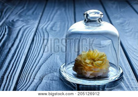 Yellow Rose Under A Glass Cap