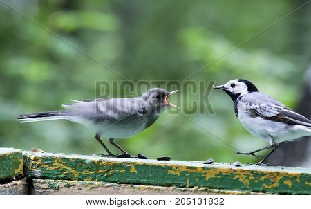 Wagtail is feeding the hungry Chicks, South Ural