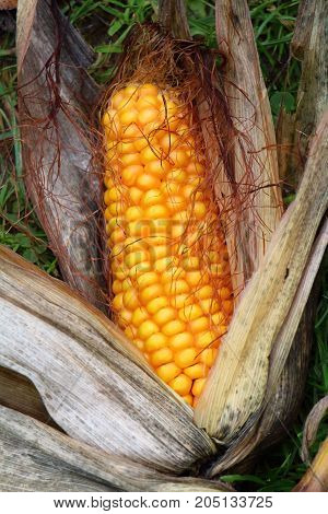 Ear of corn in the grass after the harvest