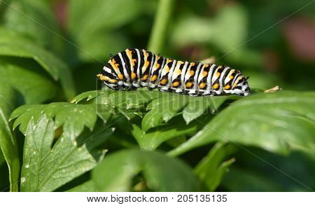Papilio polyxens or the Black Swallowtail butterfly caterpillar on parsley leaves.