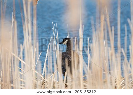Canada goose photographed through dried cattails on a sunny day