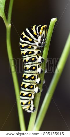 Papilio polyxens or the Black Swallowtail butterfly caterpillar in a parsley stem.