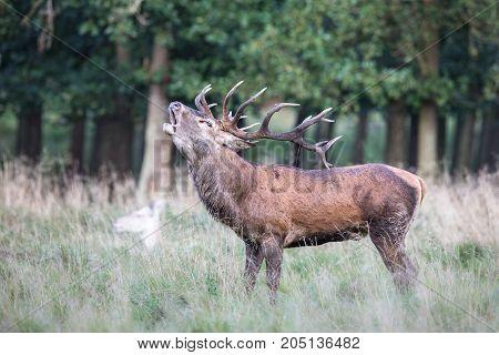 Red deer, Cervis elaphus, stag bellowing in runting season in Jaegersborg Dyrehave Denmark